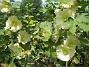 Stockros   Aclea Rosea Ficifolia   2013-07-16 IMG_0022