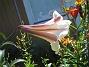 Trumpetlilja 2013-08-02 IMG_0024
