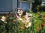 Trumpetliljor 2014-07-22 IMG_0027