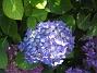 Hortensia      2015-07-15 IMG_0011